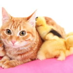 Photo of a yellow cat surrounded by yellow ducklings on a pink blanket