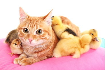 Photo of a yellow cat surrounded by yellow ducklings on a pink blanket - may you live in interesting times