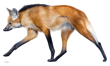 Maned wolf isn't really a prehistoric dire wolf