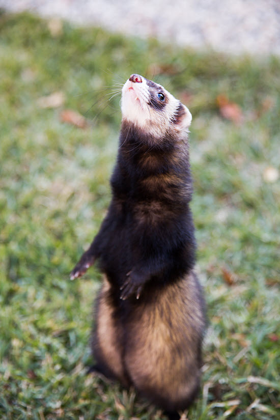 White-faced black and brown ferret standing on two legs in a grassy field