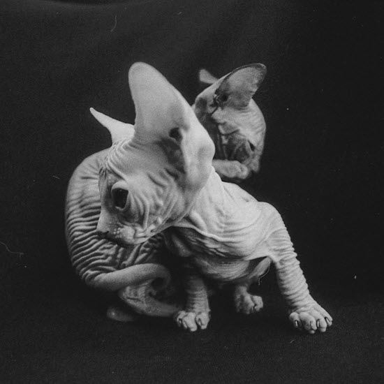 Closeup of sphinx kittens, a breed of hairless cat