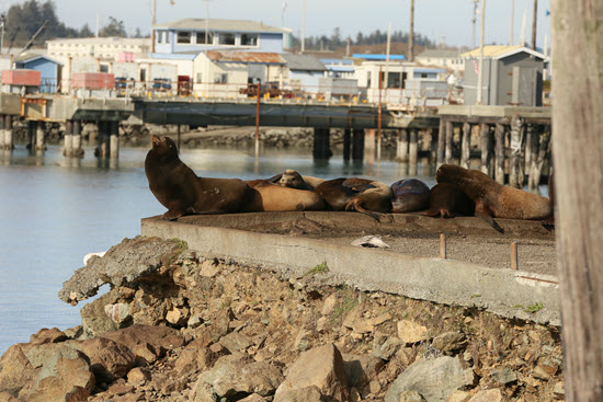 Sea lions on a concrete pier with houses in the background